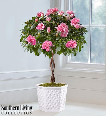 Azalea Topiary by Southern Living®