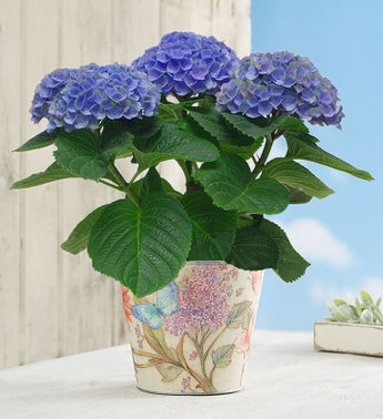 Color Changing Blossoms Hydrangea