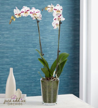 Summer Bliss Orchid